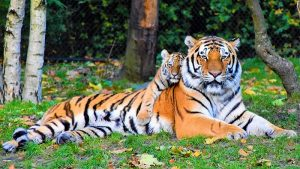 Réserve Zoologique De La Haute Touche Tigre
